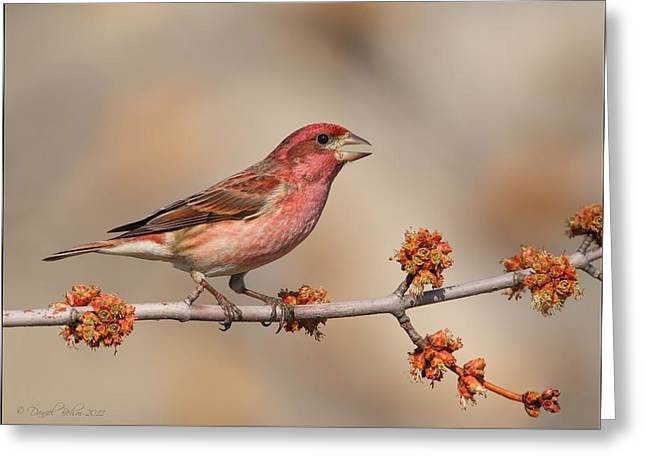 Purple Pyrography Greeting Cards - Purple Finch Greeting Card by Daniel Behm