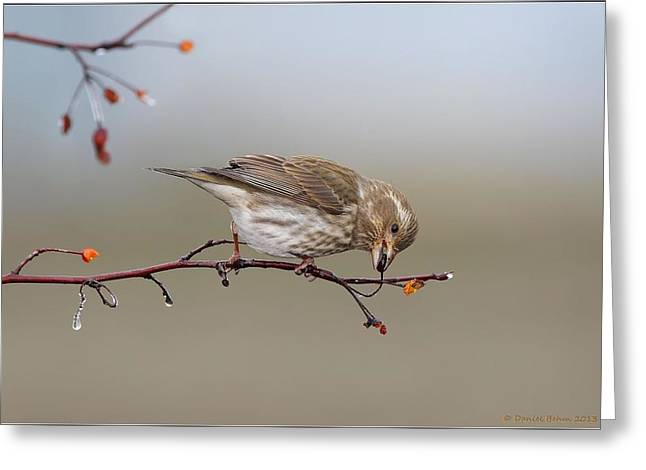 Purple Pyrography Greeting Cards - Purple Finch feeding Greeting Card by Daniel Behm