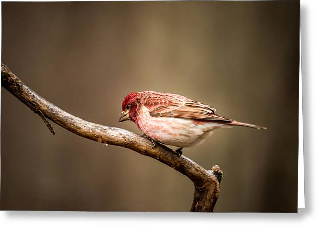 Purple House Greeting Cards - Purple Finch Pecking for Food Greeting Card by Douglas Barnett