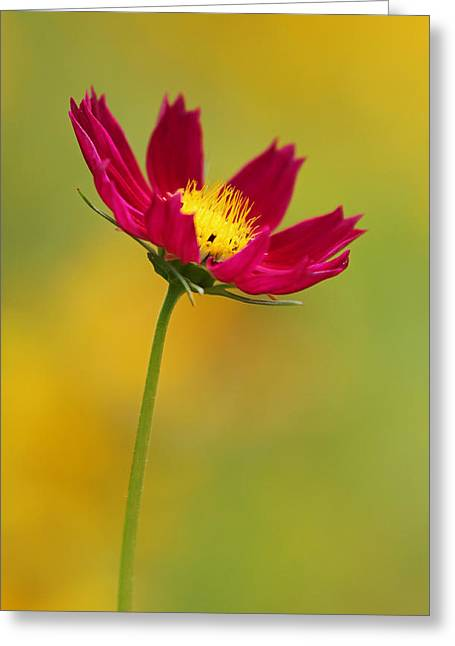 Fotografie Greeting Cards - Purple Floral over Yellow  Greeting Card by Juergen Roth