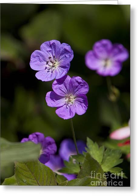 Close Up Of A Purple Geranium Greeting Cards - Purple Geranium flowers Greeting Card by Jason O Watson