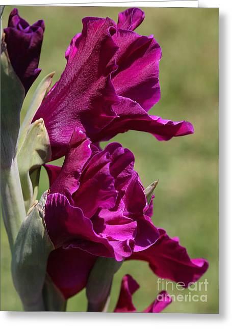 Purple Gladiola Greeting Cards - Purple Glads Greeting Card by Carol Groenen