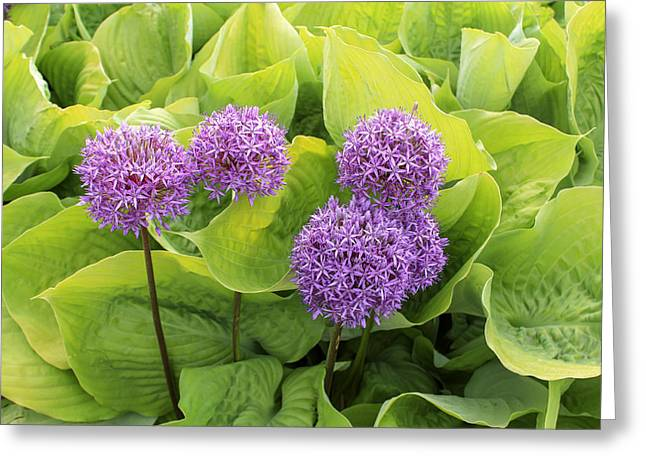 Allium Hollandicum Greeting Cards - Purple Globes  Greeting Card by Marina Kojukhova