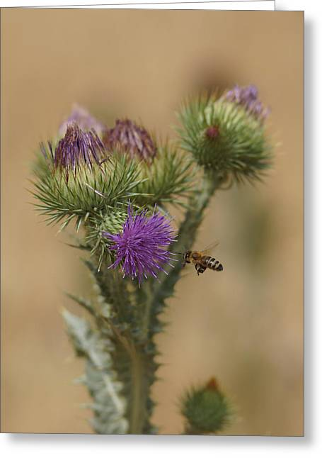 Bee In Flight Greeting Cards - Purple Glory Greeting Card by Ernie Echols