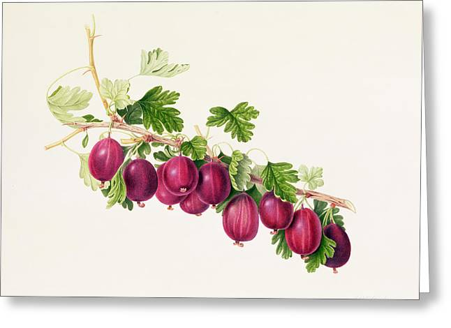 Berry Greeting Cards - Purple Gooseberry Greeting Card by William Hooker