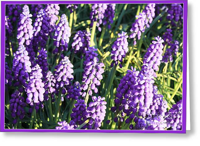 Purple Grapes Greeting Cards - Purple Grape Hyacinth  Greeting Card by Carol Groenen