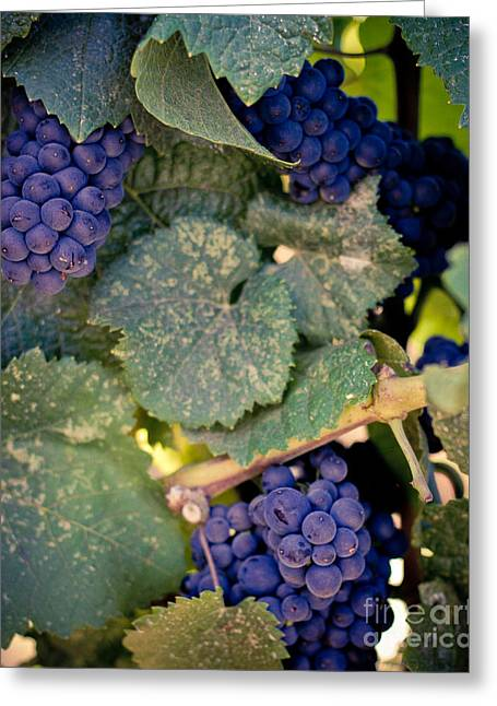 Grape Vineyard Greeting Cards - Purple Grapes on the Vine Greeting Card by Ana V  Ramirez