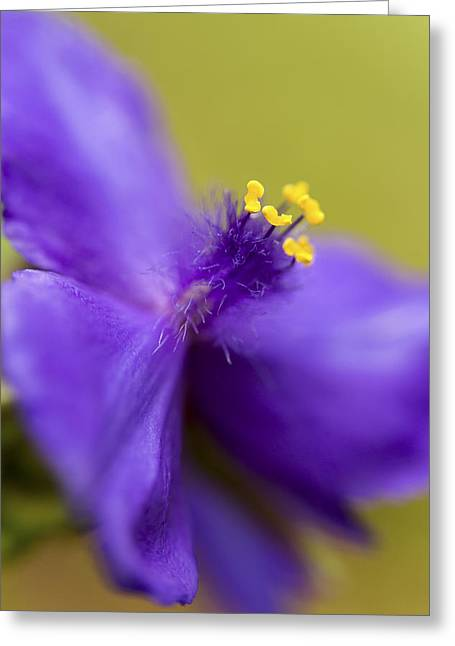 Tradescantia Greeting Cards - Purple Haze Greeting Card by Caitlyn  Grasso