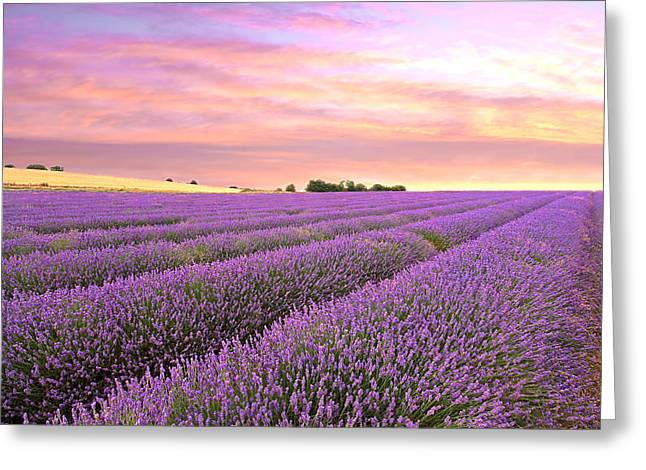 Harvest Time Photographs Greeting Cards - Purple Haze - Lavender Field at Sunrise Greeting Card by Gill Billington