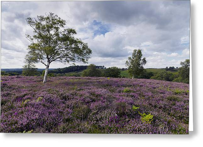 Rockford Greeting Cards - Purple Heather in Bloom in the New Forest Greeting Card by Helen Hotson