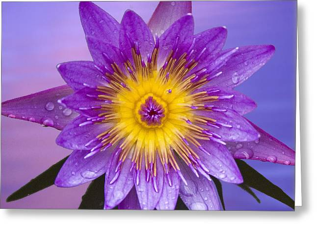 Water Lilly Greeting Cards - Purple Greeting Card by Heiko Koehrer-Wagner