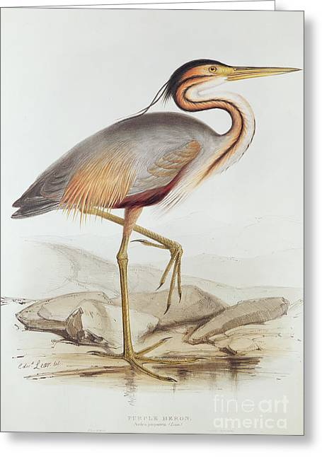 Ardea Greeting Cards - Purple Heron Greeting Card by Edward Lear
