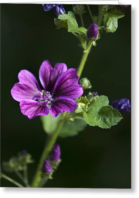 Purple Hollyhock Flowers Greeting Card by Christina Rollo