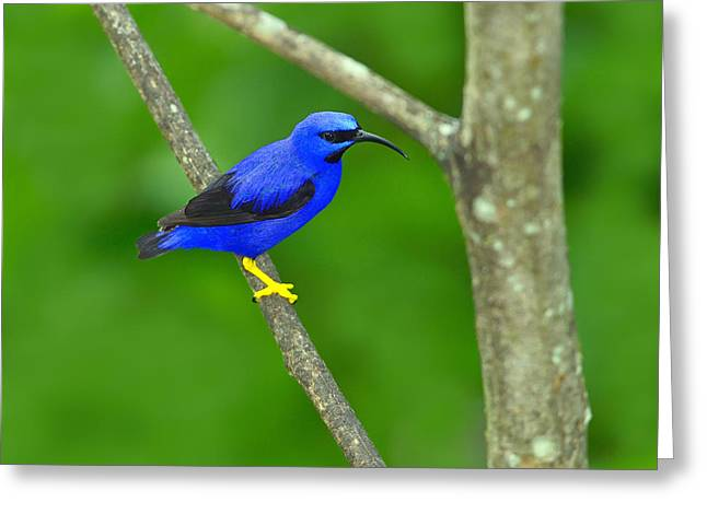 Neotropics Greeting Cards - Purple Honeycreeper Greeting Card by Tony Beck