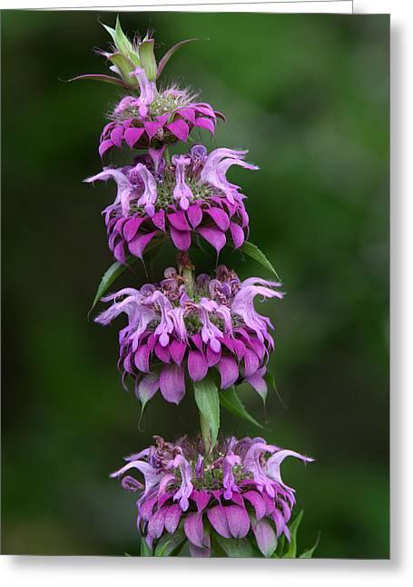 Horsemint Greeting Cards - Purple Horsemint Wildflower Greeting Card by Howard Cheek