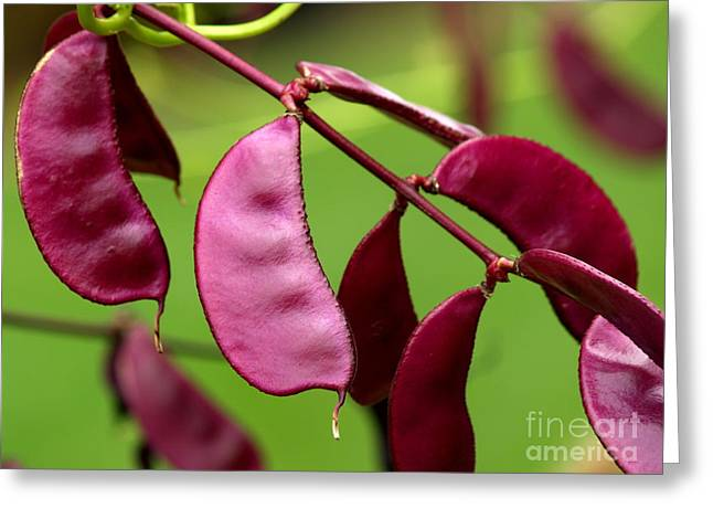 Green Beans Greeting Cards - Purple Hyacinth Beans in September Greeting Card by Anna Lisa Yoder