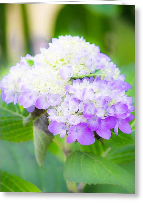 Lighter Greeting Cards - Purple Hydrangea Blossom Greeting Card by Shelby  Young