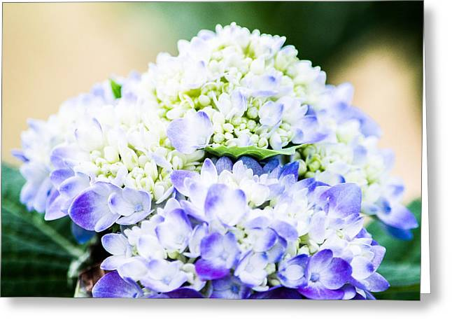 Botanics Greeting Cards - Purple Hydrangea  Greeting Card by Shelby  Young