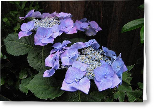Lacecap Greeting Cards - Purple Lacecap Hydrangea Greeting Card by Suzanne Gaff
