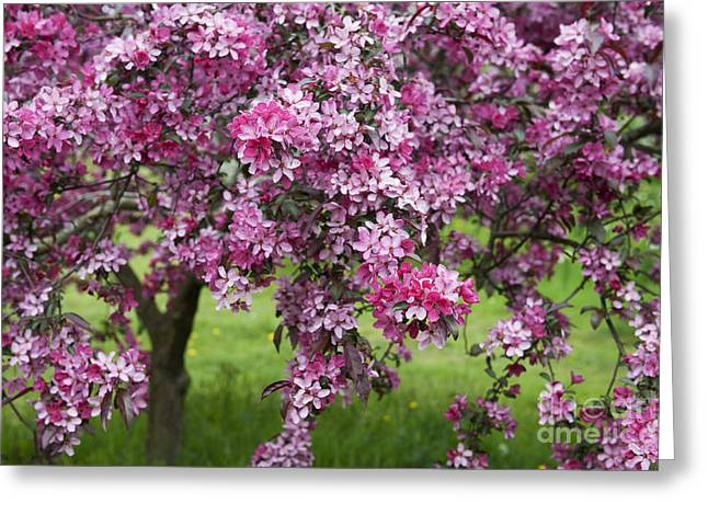 Crab Apple Greeting Cards - Purple Leaved Crab Apple Tree Blossom Greeting Card by Tim Gainey