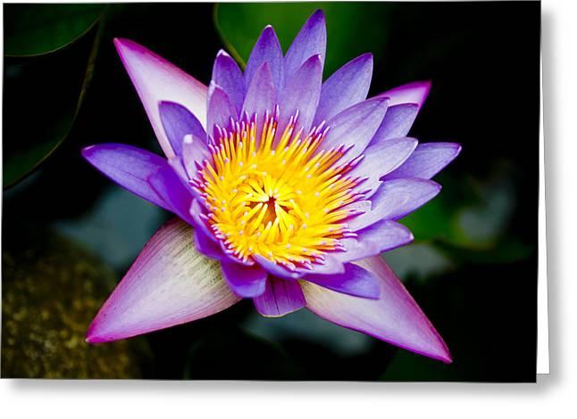 Close Focus Floral Greeting Cards - Purple lotus  Greeting Card by Raimond Klavins