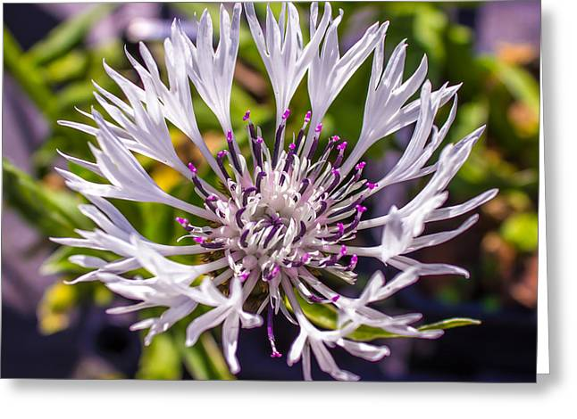 Beautiful Purples Greeting Cards - Macro Flower Greeting Card by Martin Newman