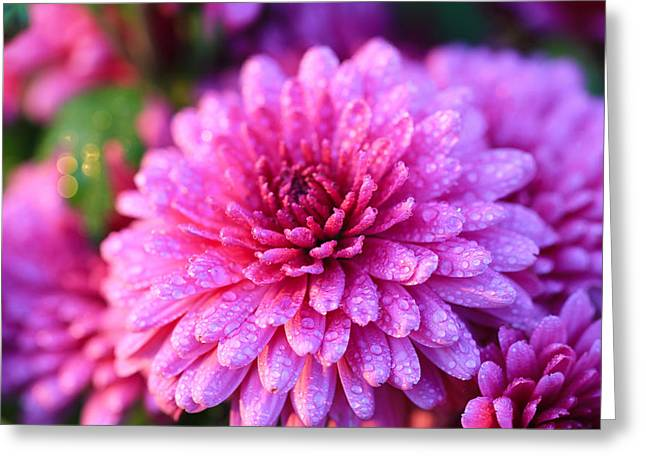 Pinks And Purple Petals Greeting Cards - Purple Mums Greeting Card by Rachel Cohen