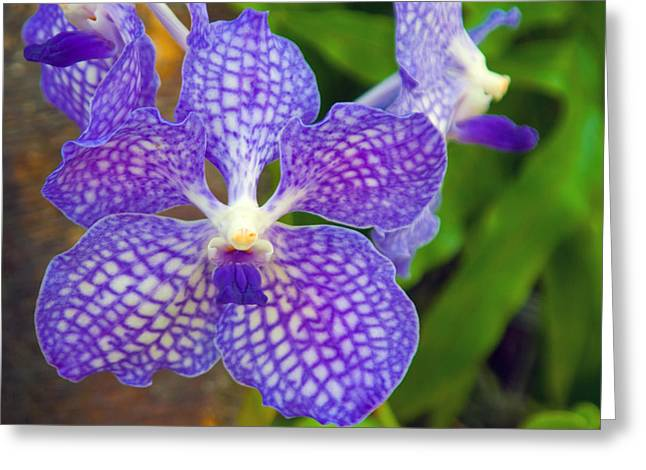 Dendrobium Greeting Cards - Purple Orchid Greeting Card by Matthew Bamberg