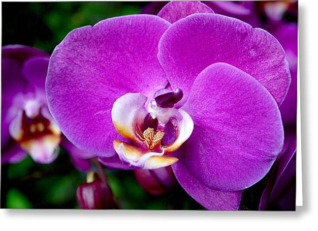 Purple Orchid Greeting Card by Rona Black