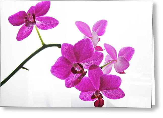 Phalenopsis Greeting Cards - purple orchids II Greeting Card by Jane Schnetlage