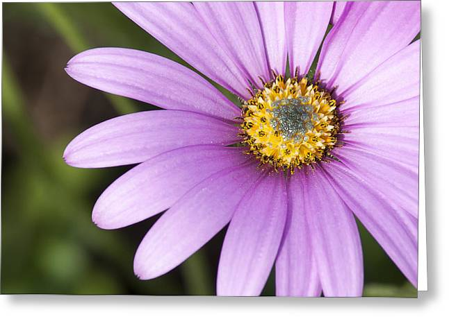 Purple Sensation Greeting Cards - Purple Osteospermum Greeting Card by Chay Bewley