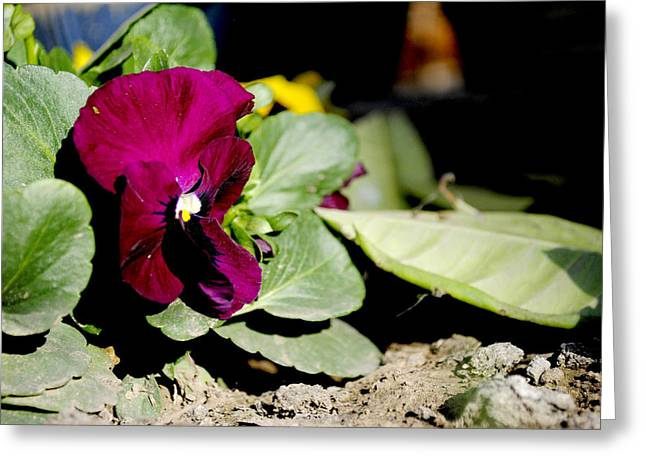 Flora Greeting Cards - Purple pansy Greeting Card by Sumit Mehndiratta