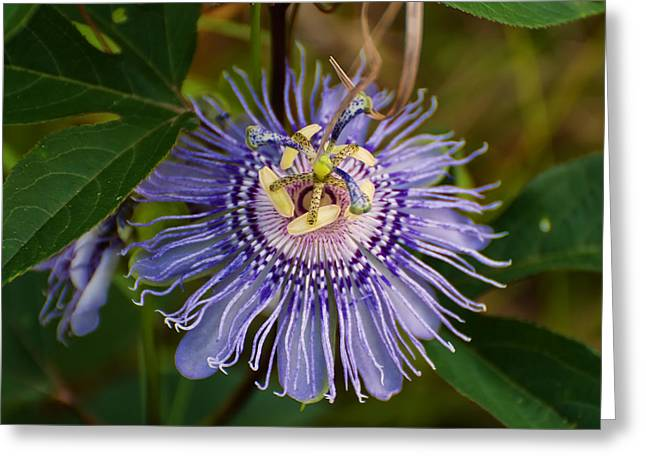 Purple Flower Flower Image Greeting Cards - Purple Passion flower Greeting Card by Chris Flees