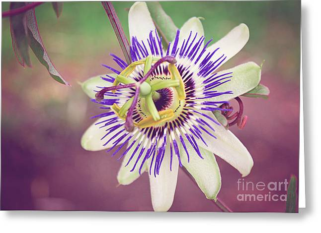 Passionflower Greeting Cards - Purple Passion Flower Greeting Card by Janice Rae Pariza