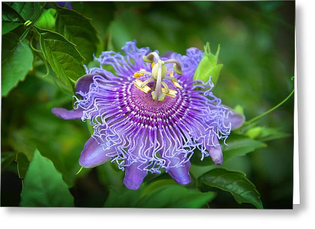 Passionfruit Greeting Cards - Purple Passion Flower Greeting Card by Lynn Bauer