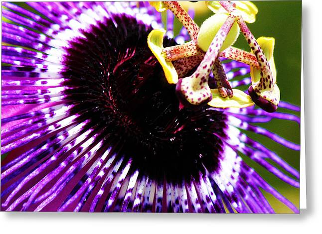 Passionflower Greeting Cards - Purple Passion Flower v2 Greeting Card by Karen Anderson