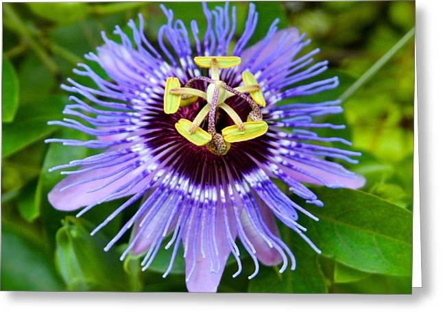 Purple Passion Flower Greeting Card by Venetia Featherstone-Witty