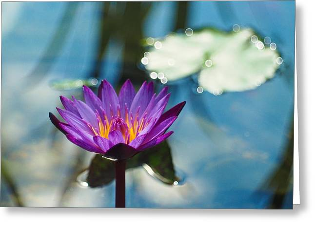 Water Lilly Greeting Cards - Purple Passion Greeting Card by Linda Unger