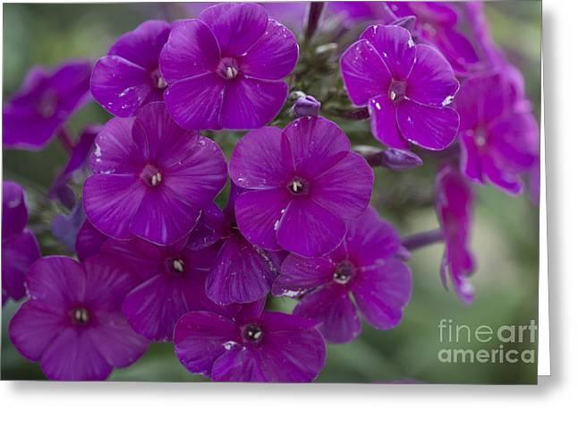 Purple Phlox Greeting Cards - Purple Phlox Greeting Card by David Bearden