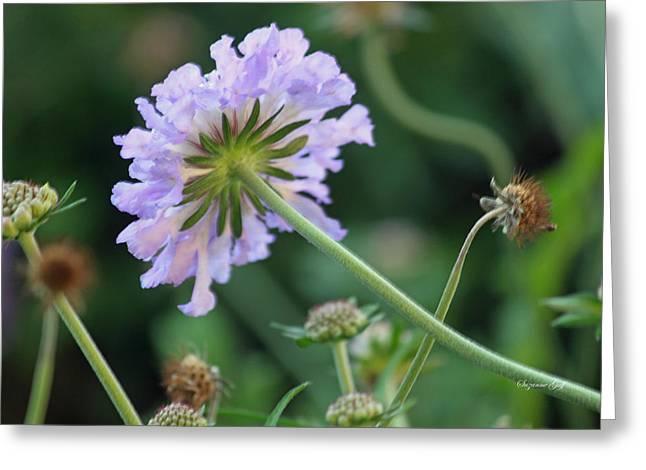 Pincushion Flower Greeting Cards - Purple Pincushion Flower Greeting Card by Suzanne Gaff