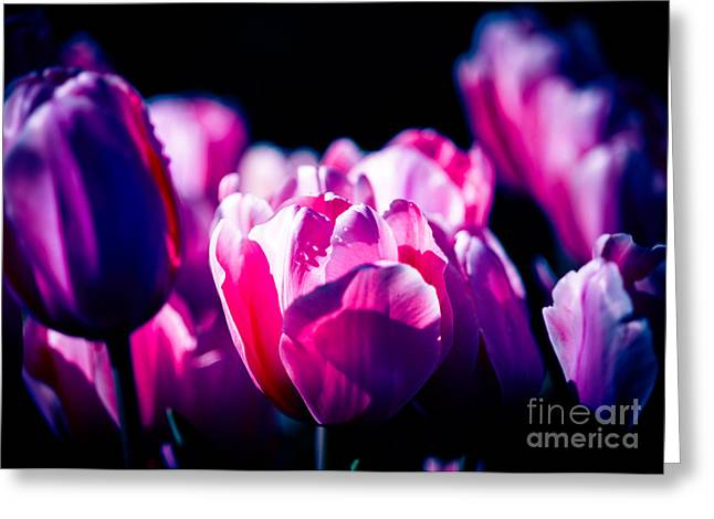 Photographers Dallas Greeting Cards - Purple Pink Tulips Greeting Card by Sonja Quintero