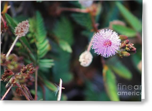 Pudica Greeting Cards - Purple Pom Pom Greeting Card by Craig Wood