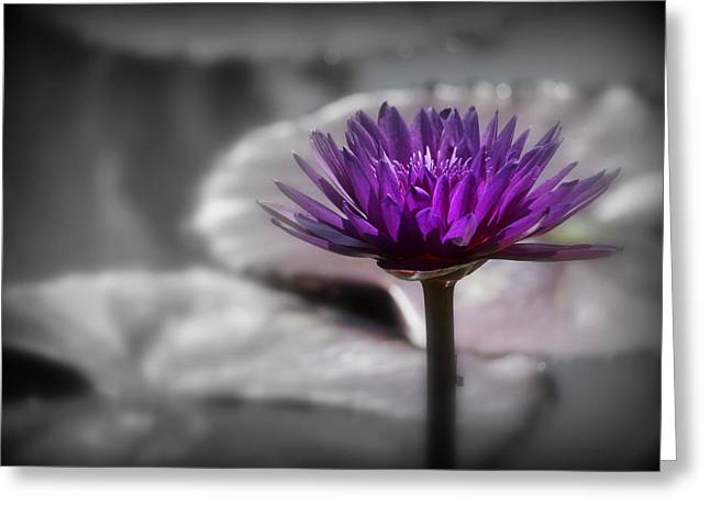 Lotus Full Bloom Greeting Cards - Purple Pond Lily Greeting Card by Lynn Sprowl