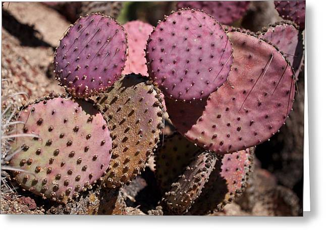 Circle Photographs Greeting Cards - Purple Prickly Pear Cactus Greeting Card by Rona Black