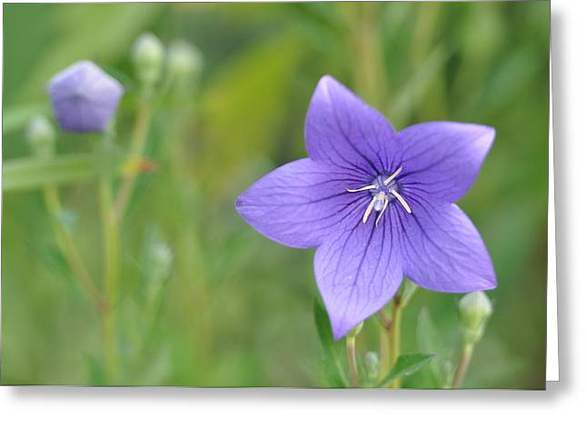 Balloon Flower Greeting Cards - Purple Puff Greeting Card by Linda Courtney