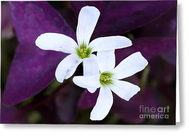 Purple Queen Flowers Greeting Card by Sabrina L Ryan