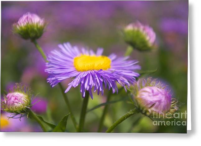Blume Greeting Cards - Purple Quintett Greeting Card by Angela Doelling AD DESIGN Photo and PhotoArt