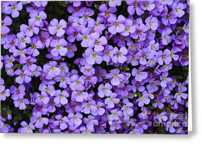 Perrenials Greeting Cards - Purple Rockcress Greeting Card by Carol Groenen