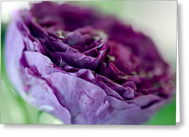 Close Focus Floral Greeting Cards - Purple Rose Greeting Card by Frank Tschakert