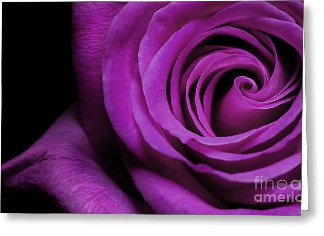 Purple Pyrography Greeting Cards - Purple Roses closeup Greeting Card by Boon Mee